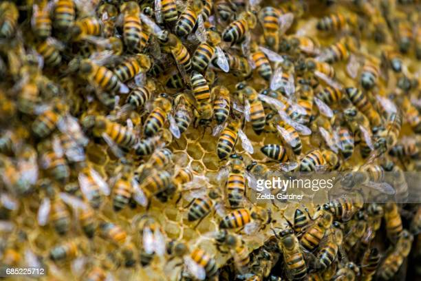 Wild Honey Bees