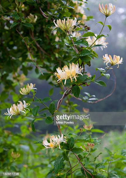 wild honeysuckle lonicera periclymenum norfolk - honeysuckle stock pictures, royalty-free photos & images