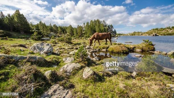 wild horse eating grass near les bouillouses lake, pyrenees orientales, france - catalogne photos et images de collection
