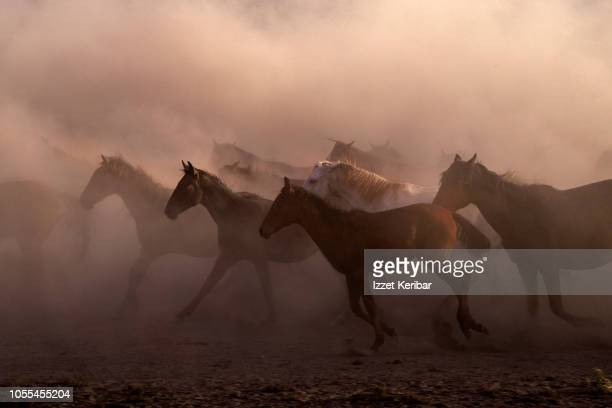 wild horse herd running on a dry swamp, kayseri hurmetci , central anatolia, turkey - animals in the wild stock pictures, royalty-free photos & images