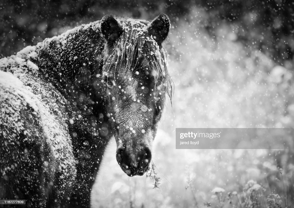 A Wild Horse In Falling Snow High Res Stock Photo Getty Images