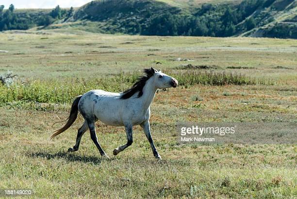 Wild Horse in Theodore Roosevelt Nat'l Park