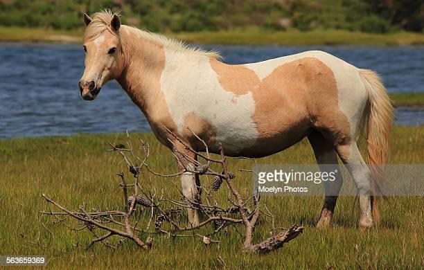 Wild Horse of Assateague