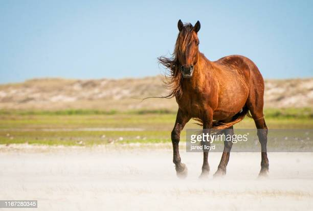a wild horse on the outer banks with mane blowing in the wind - animales salvajes fotografías e imágenes de stock
