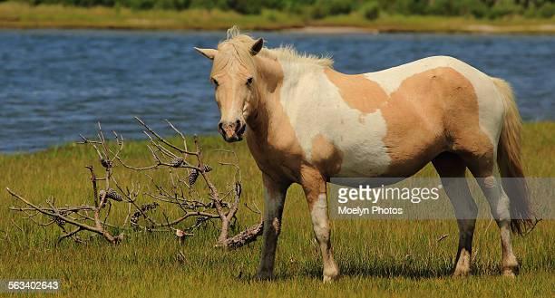 Wild horse portrait-assateague