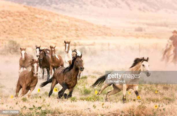 wild horse roundup by lone cowboy in the background.  nine running horses trying to break for freedom. - stallion stock photos and pictures