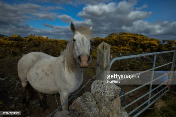 Wild horse seen in a field near Ervallagh, during the COVID-19 lockdown. On Wednesday, 28 April 2021, in Ervallagh, Roundstone, Connemara, Co....