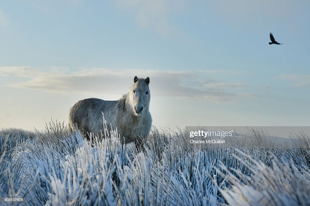 A wild horse stands still in the snow on Black mountain on January 15, 2016 in Belfast, Northern Ireland. The first heavy snowfall of the year has badly affected travel conditions in the province with the roads authority advising motorists to take extreme care. A Met Office warning for snow and ice remains until 11.00am on Saturday.