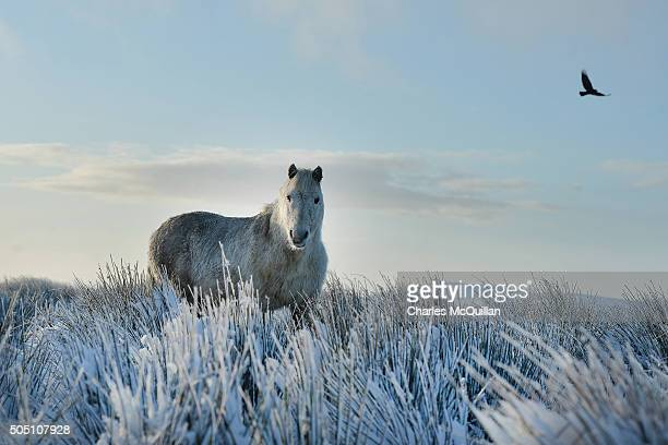 A wild horse stands still in the snow on Black mountain on January 15 2016 in Belfast Northern Ireland The first heavy snowfall of the year has badly...