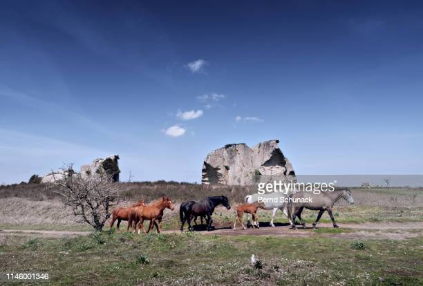 wild horses and megaliths - bernd schunack stock photos and pictures