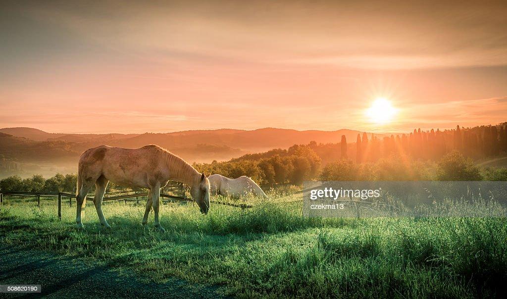 Wild horses and tuscan sunrise : Stock Photo