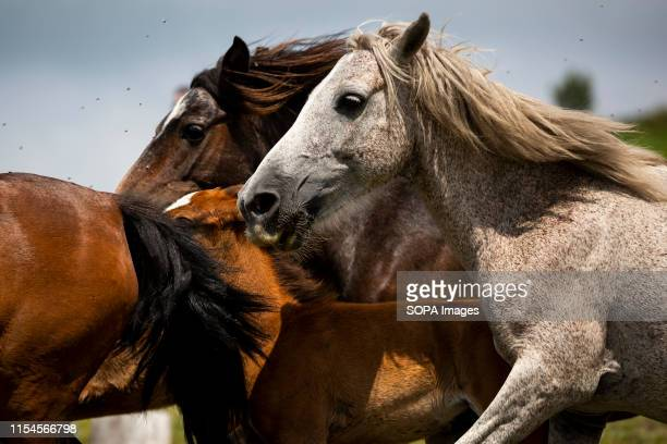Wild horses are herded together at the hills during the Rapa Das Bestas festival in EstradaWild horses are caught from the hills and taken down to...