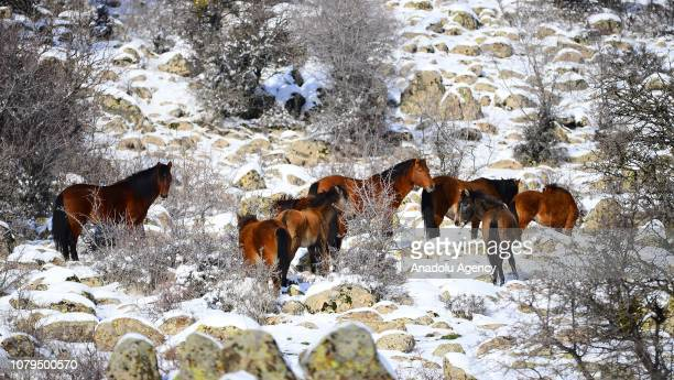 Wild horses are looking for food on snow-covered sides of the Mount Murat in Usak province, Turkey on January 09, 2019.