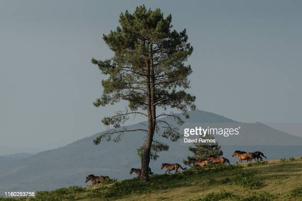 Wild horses are rounded up in the hills on the eve of the Rapa das Bestas or the 'shearing of the beasts' festival on July 05 2019 in Sabucedo near...