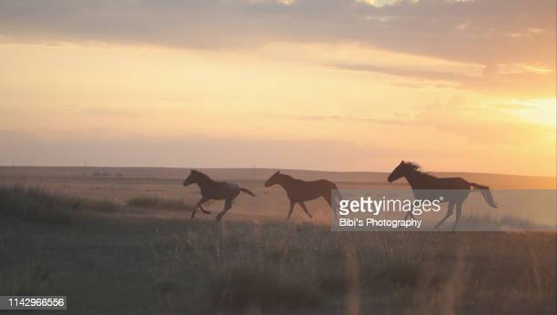 wild horses are running in the sunrise in inner mongoria - fauna selvatica foto e immagini stock