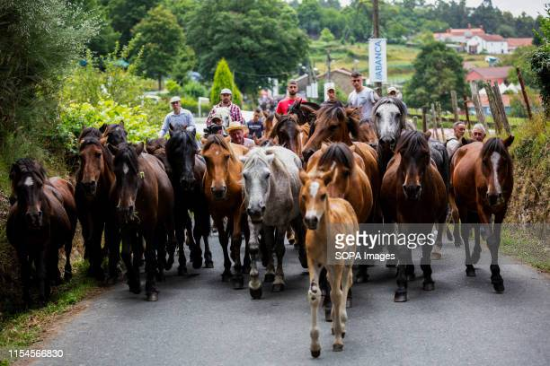 Wild horses arrive at the village during the Rapa Das Bestas a traditional event in the Spanish northwestern village of Sabucedo some 40 kms from...