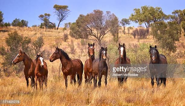 Wild Horses Australia