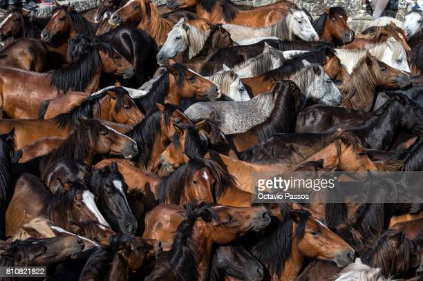 Wild horses during the 'Rapa Das Bestas' a traditional event in the Spanish northwestern village of Sabucedo around 40 kilometers from Santiago de...