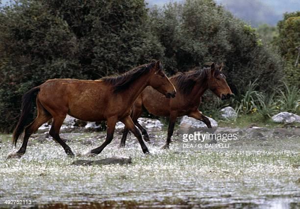 Wild horses Equidae Giara di Gesturi Sardinia Italy