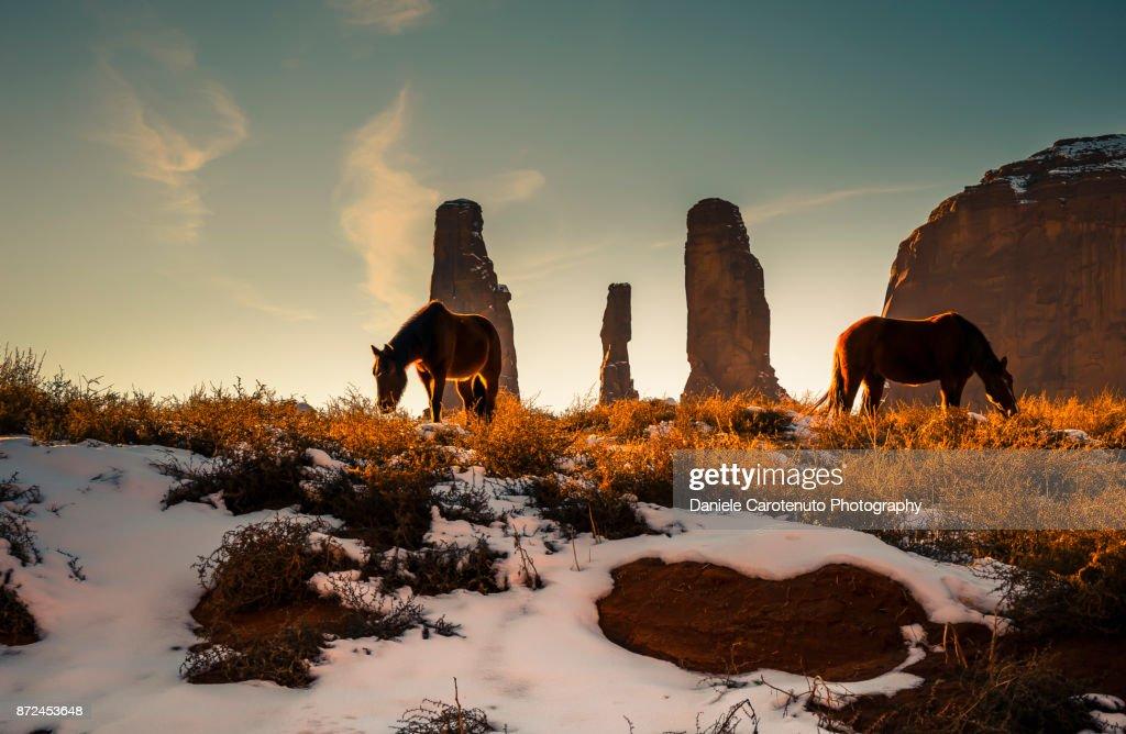 Wild horses foraging : Stock Photo