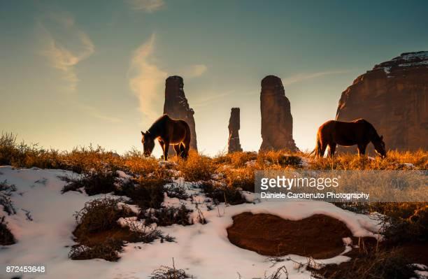 Wild horses foraging