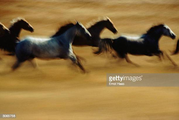 Wild horses gallop across countryside in a blur of speed Creation Book and Colour Photography book