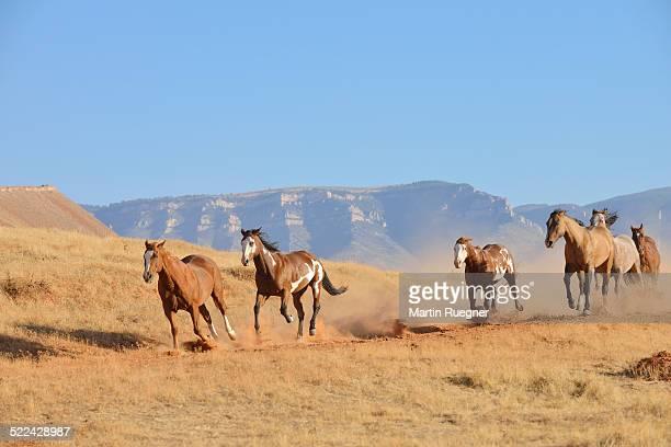 Wild Horses galopping.