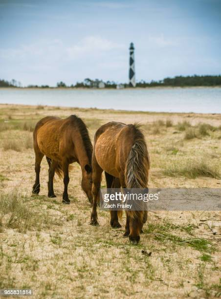 wild horses graze in front of cape lookout lighthouse - outer banks stock pictures, royalty-free photos & images
