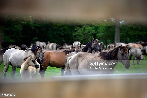 Wild horses graze in the central arena during the annual wild stallion capture at the Merfelder Bruch nature reserve on May 30 2015 near Duelmen...