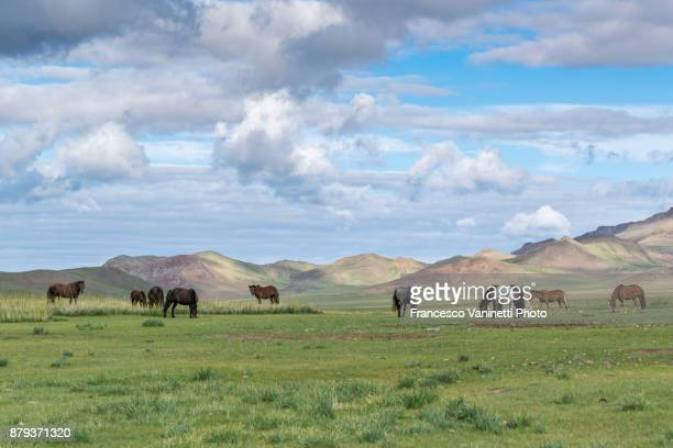Wild horses grazing and Khangai mountains in the background. Hovsgol province, Mongolia.