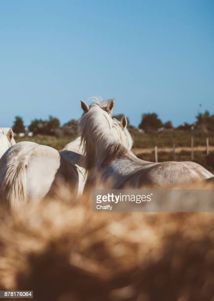 Wild Horses in Camargue