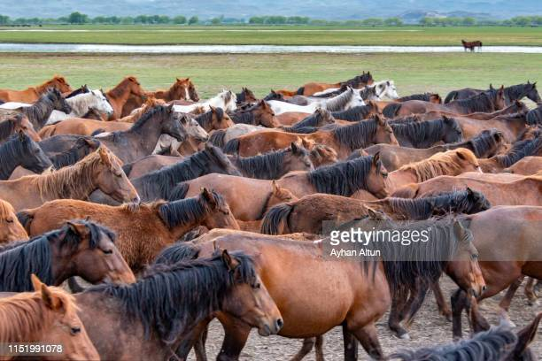 wild horses (yilki atlari) in  hormetci village, hacilar, kayseri, central anatolia of turkey - uncultivated stock pictures, royalty-free photos & images