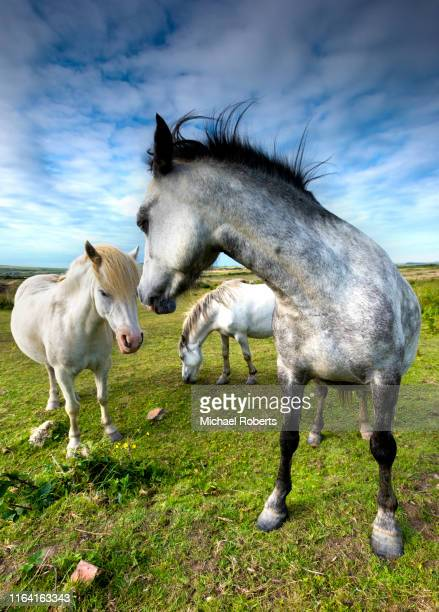 wild horses in pembrokeshire, wales - st davids day stock pictures, royalty-free photos & images