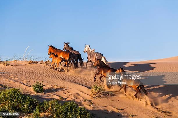 wild horses in the desert - semiarid stock-fotos und bilder