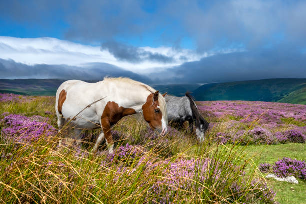 Wild horses in the heather (Calluna Vulgaris) of the Black Mountains, Brecon Beacons in Wales