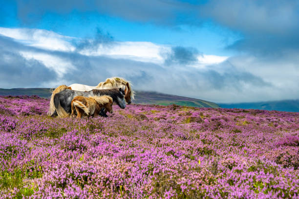 Wild horses in the heather (Calluna Vulgaris) of the Black Mountains, Brecon Beacons national park in Wales