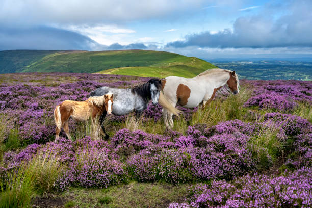 Wild horses in the heather (Calluna Vulgaris) of the Black Mountains, Brecon Beacons national park, Wales