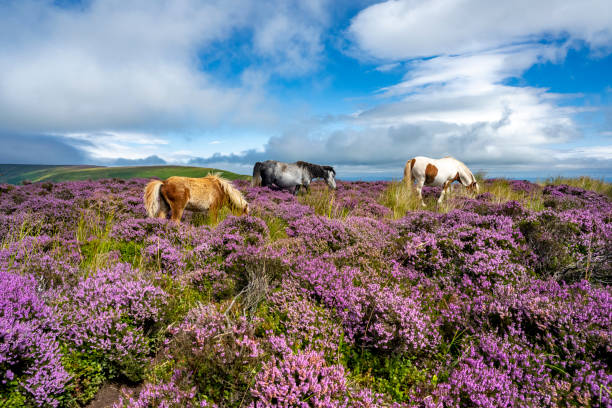 Wild horses in the heather (Calluna Vulgaris) of the Black Mountains, Brecon Beacons, Wales