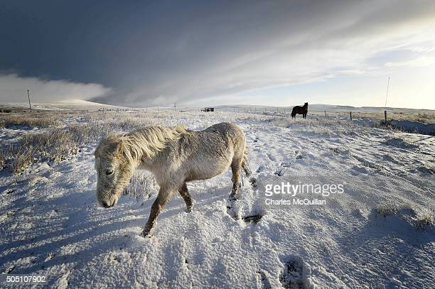 Wild horses make their way through the snow across Black mountain on January 15 2016 in Belfast Northern Ireland The first heavy snowfall of the year...