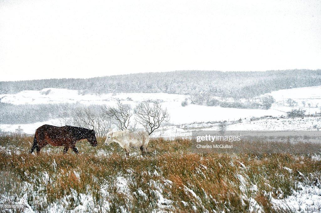 Wild Horses Make Their Way Through The Snow Across Black Mountain On News Photo Getty Images