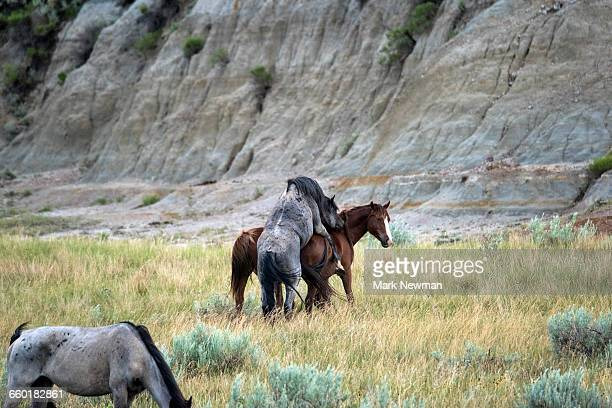 wild horses mating - accouplement cheval photos et images de collection