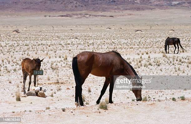 wild horses of the namib desert - erongo stock photos and pictures