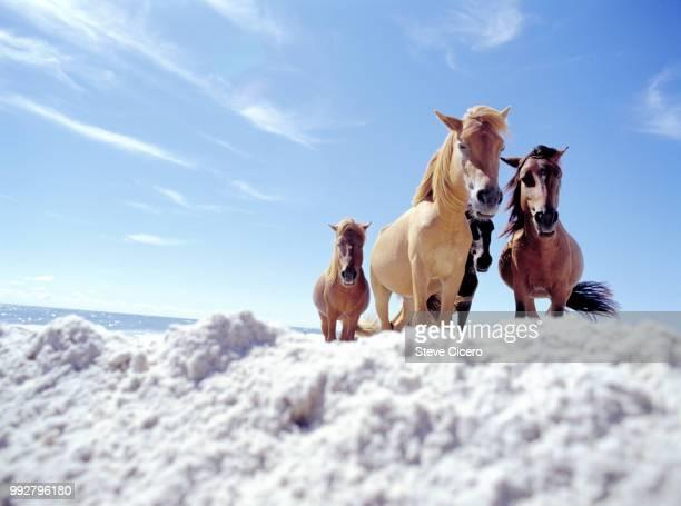 wild horses on assateague island - maryland staat stockfoto's en -beelden