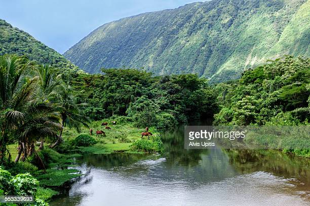 wild horses on banks of waipio valley river - waipio valley stockfoto's en -beelden