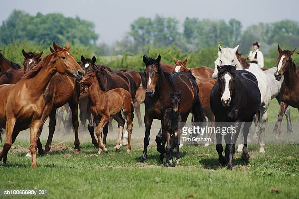wild horses on great hungarian plain - stampeding stock pictures, royalty-free photos & images