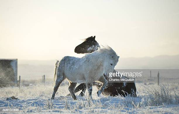 Wild horses play in the snow on Black mountain on January 15 2016 in Belfast Northern Ireland The first heavy snowfall of the year has badly affected...