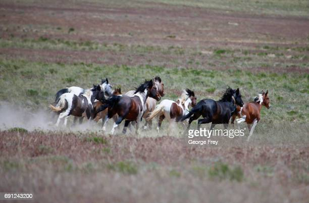 Wild horses roam free on state and some private land outside federal disengaged horse management areas on May 31 2017 outside Milford Utah The BLM...