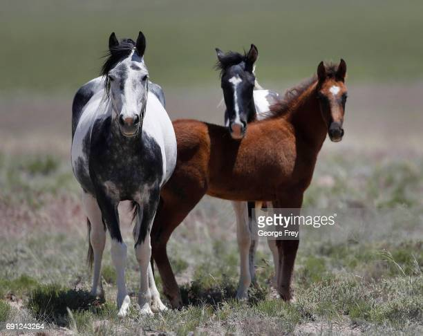 Wild horses roam free on state and some private land, outside federal disengaged horse management areas on May 31, 2017 outside Milford, Utah. The...