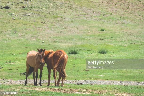 Wild horses roaming in the steppes of Mongolia.