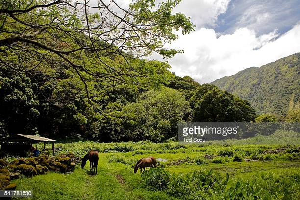 Wild horses roaming the Waipi'o valley in Kona Hawaii